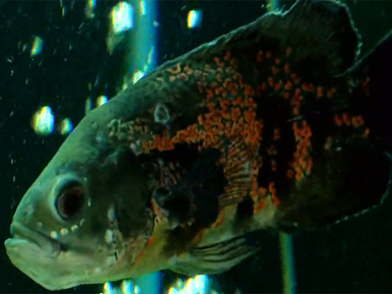 North Carolina resident Michael Ray Hinson was charged with animal cruelty for the neglect of his oscar fish.