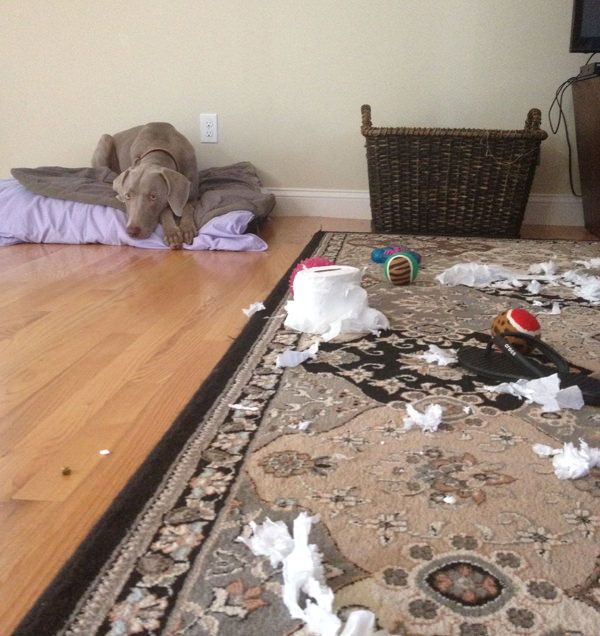 Weim Crime - Weimaraner made a mess... went back to bed.