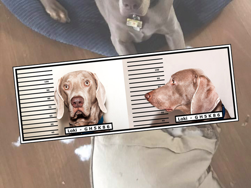 "Weimaraners are notorious for their ""weim crimes""."
