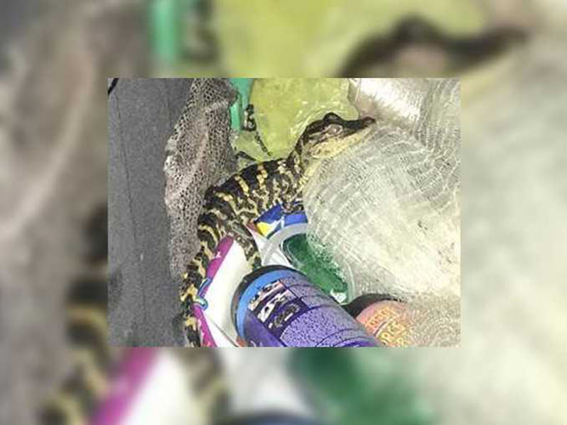 Florida Woman Pulls Live Alligator Out Of Her Pants During Traffic Stop... Yes Alligator!
